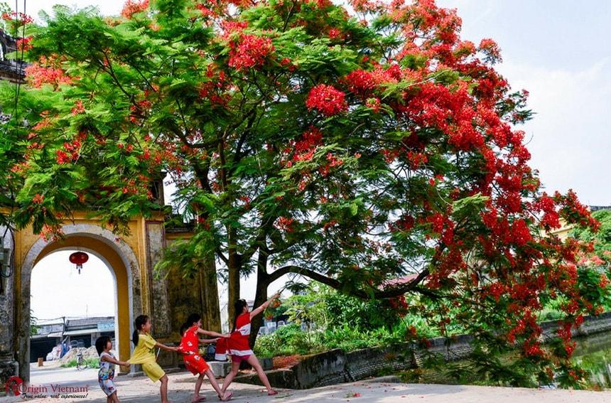 Phoenix flower Hanoi