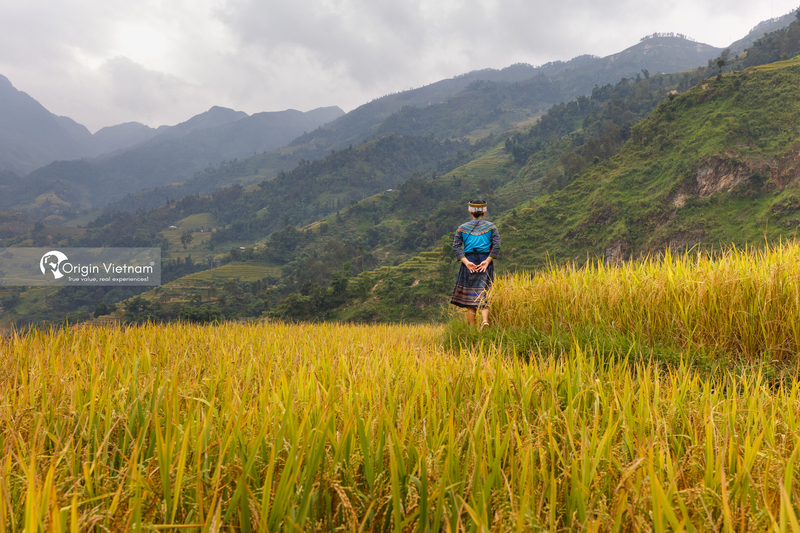 The season of ripe rice in Hoang Su Phi