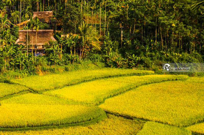 See the golden rice in Thanh Hoa