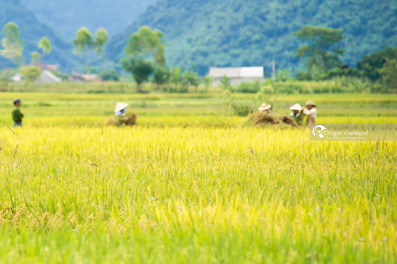 rice terraces in Bac Son valley