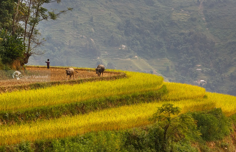 Top 5 Roads To See Ripe Rice In The Northwest Of Vietnam