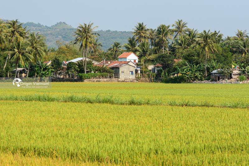 Golden Rice Season in Phu Yen