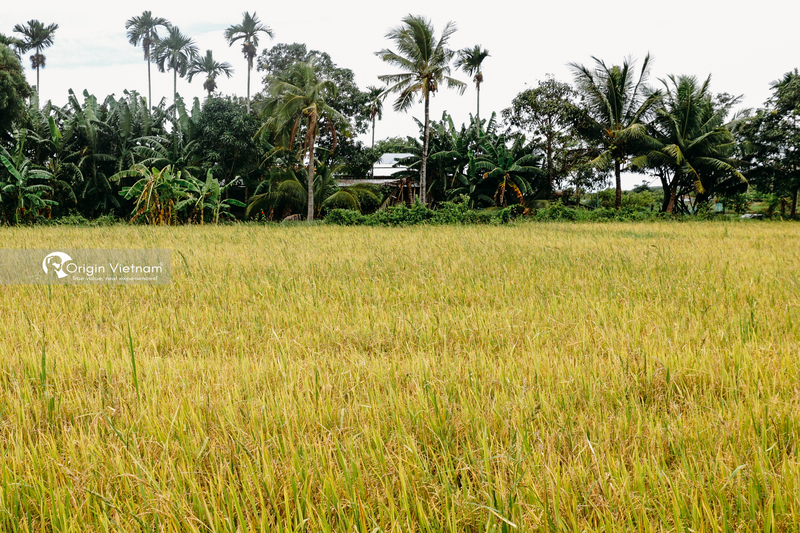 The rice fields in Khanh Hoa