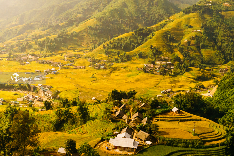 the terraced rice fields with harmonious beauty of golden rice harmonious in Sapa
