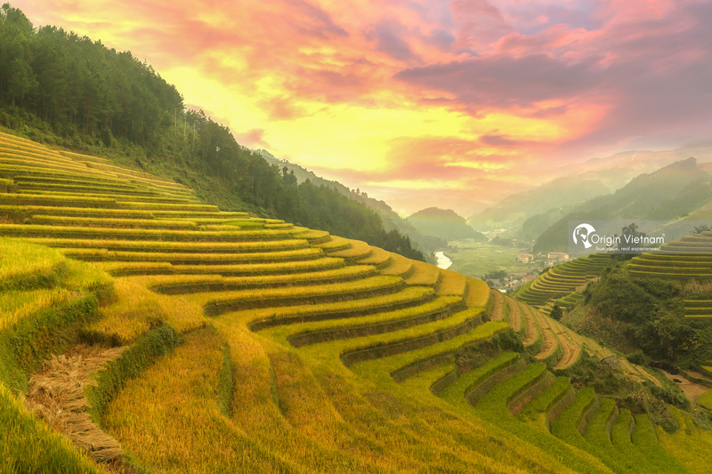 Mu Cang Chai Beautiful In The Middle Of The Golden Rice Season