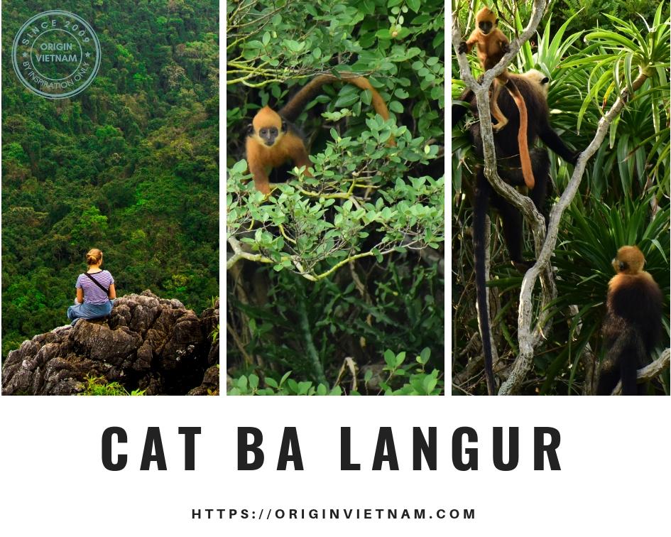 Cat Ba Langur, ORIGIN VIETNAM
