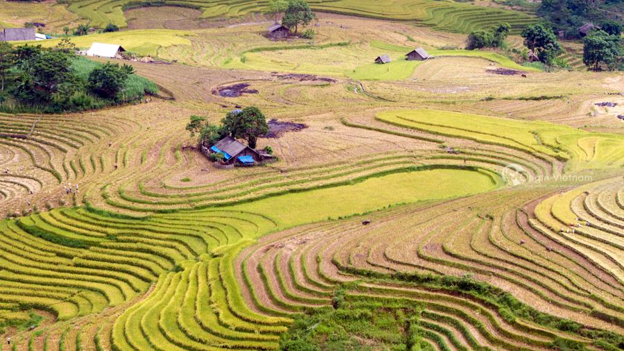 Golden rice field in Hoang Su Phi