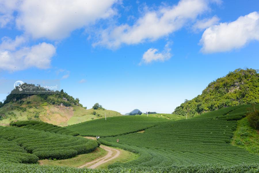 Tea Farm in Moc Chau