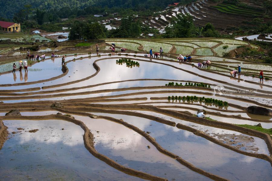 Farmer planting rice in Y Ty