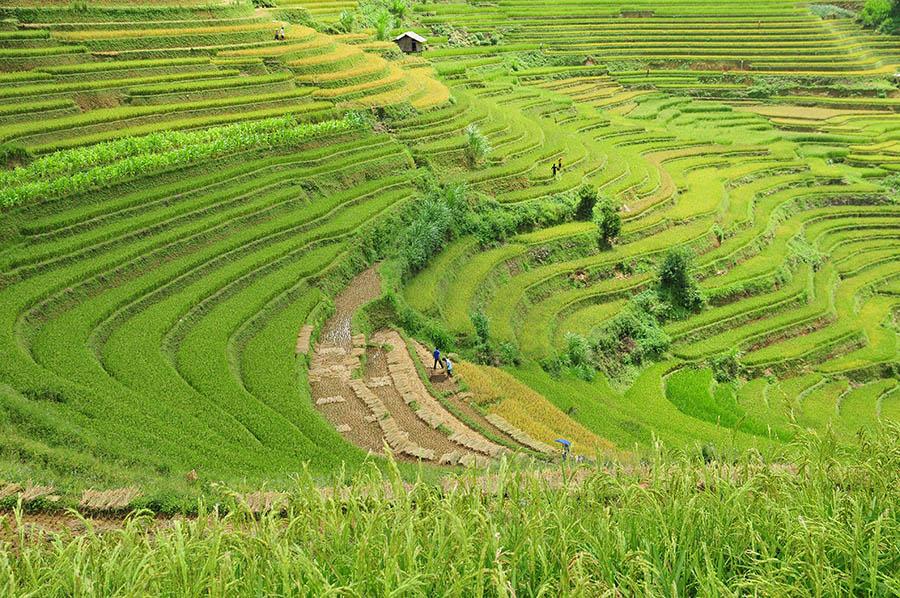 Terrace rice field in Mu Cang Chai