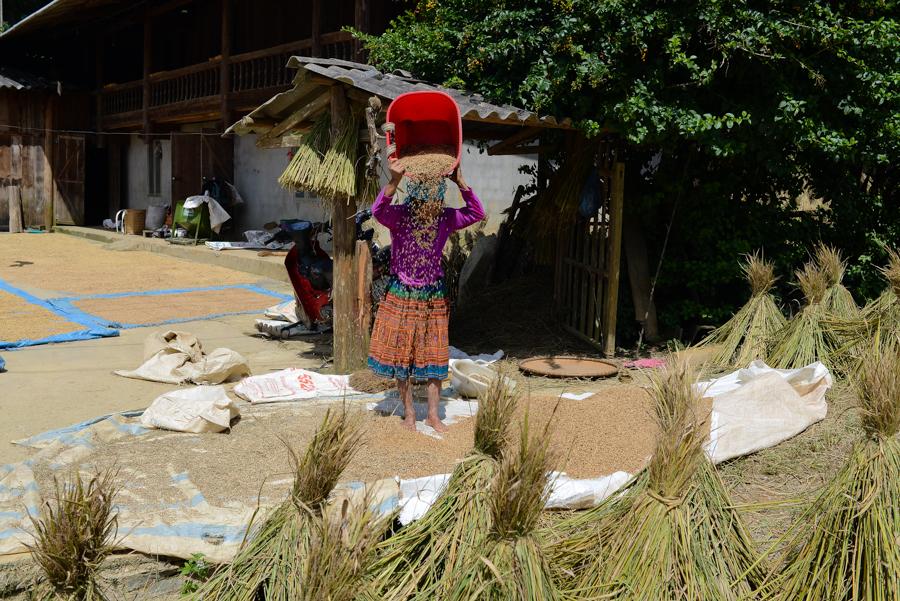 Farmer drying rice